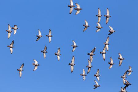 palomas volando: Bandada de palomas deportivas volando contra un hermoso cielo azul profundo durante su trainning diaria para la competencia