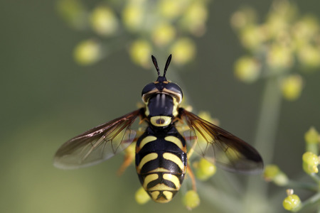 Wasp on a yellow flower. Early autumn. Northern portuguese meadows.