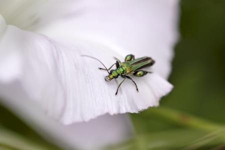 mettalic: Mettalic green bug over wild whiteflower
