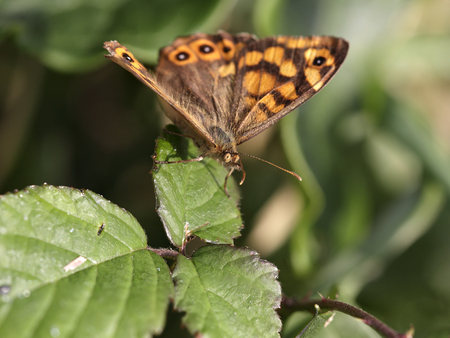 Small orange butterfly macro. Northern portuguese meadows during sunny early autumns days.