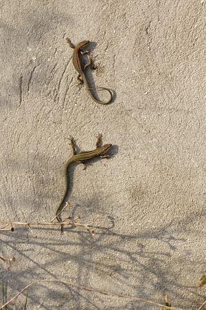 lacerta: Common wall lizards catching the last rays of sun Stock Photo