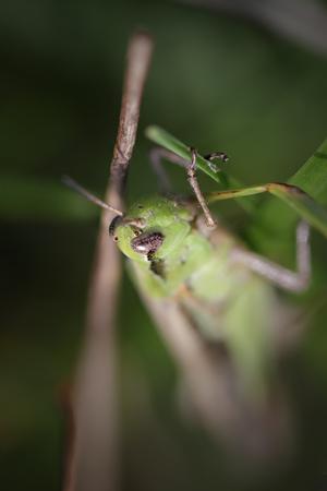 chorthippus: Shallow DOF green grasshopper. Northern  portuguese meadows in early autumn.