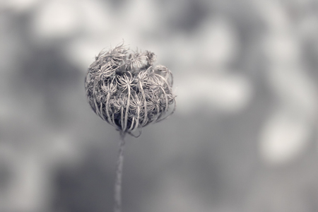 Infrared photo of a wild dried flower in autumn