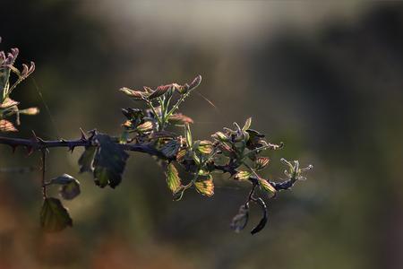 blackberry bush: Backlit wild bramble at sunset.