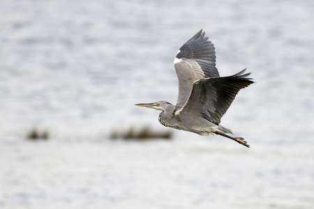 Heron in flight over Douro river, Porto, Portugal.