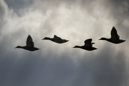 Backlit ducks in flight against a dramatic sky
