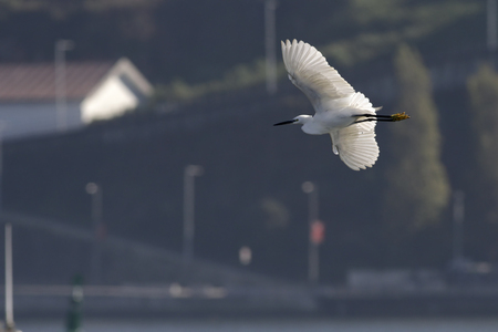 Beautiful white egret in flight over water with interesting light. Douro river, Porto, Portugal.