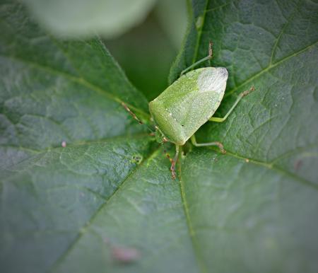Macro of a green bug on a green leaf