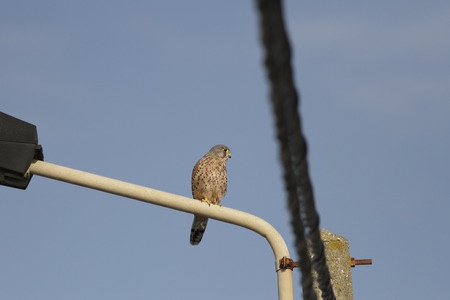 Common hawk perched on a street lamp against blue sky, north of Portugal, 免版税图像