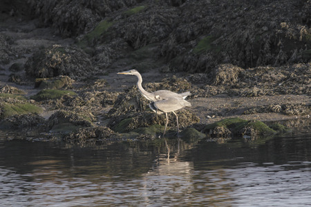 Heron looking for food on the bank of the river Douro. Late evening light.