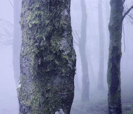 Foggy mysterious forest. Focus on the foreground tree trunK. Analog: 120 slide film.