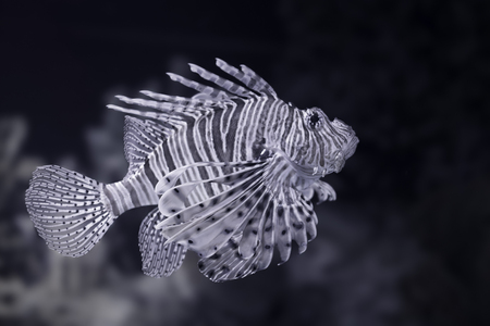 Lion fish closeup. Converted black and white. Toned blue.