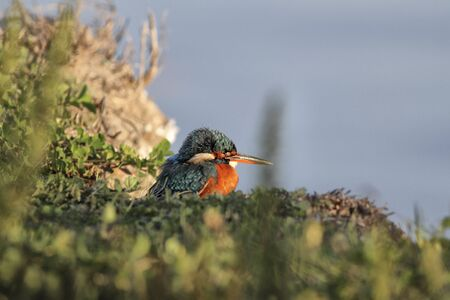 kingfisher resting after a tiring fishing day on the Ave river, Portugal Stock fotó
