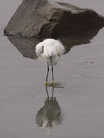 Uncombed white egret with reflection. Douro river, northern Portugal