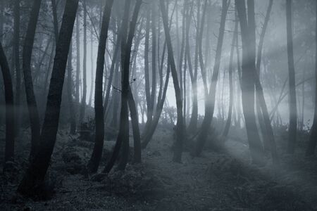 Late evening foggy woods with light rays