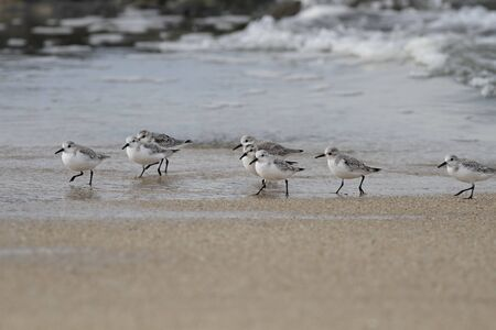 Sanderlings walking in a sea beach from the north of Portugal.
