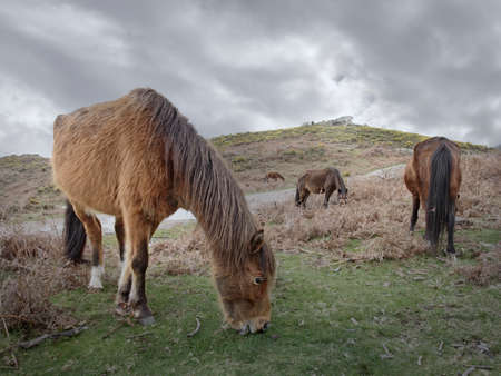 Semi-wild horses. Geres National Park, north of Portugal.