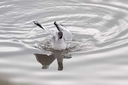 Tern feeding in the Douro river border, north of Portugal