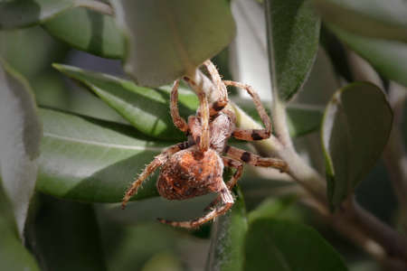 Macro of scary spider hidden in the leaves