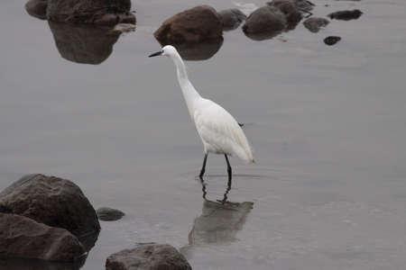 Beautiful little white egret in the Douro river border, north of Portugal.