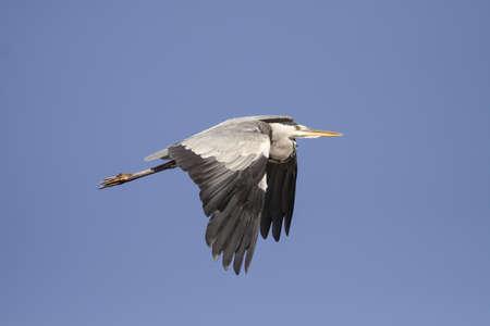 Heron in flight against deep blue sky. Douro, Portugal.