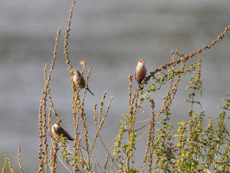 Perched common waxbill in a meadow from northern Portugal.