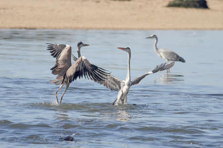 Herons fight. Douro river bank, north of Portugal.