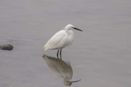 White egret after lunch.. Douro river border, northern Portugal.