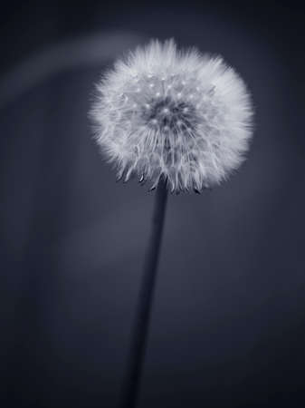 Black and white dandelion. Converted black and white. Toned blue