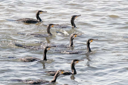 Flock of cormorants in formation during fishing. Douro river, north of Portugal. Shallow DOF. Archivio Fotografico