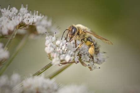 Macro of a honey bee sucking pollen on a white flower from a portuguese meadow in spring Archivio Fotografico