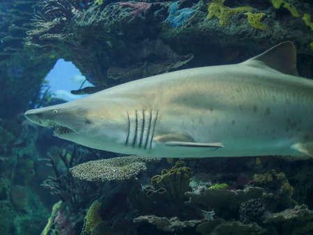 Bull shark closeup. Aquarium photo.