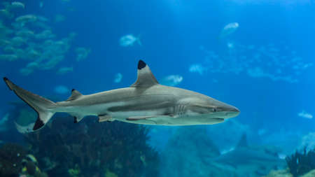Blacktip shark closeup. Aquarium photp.