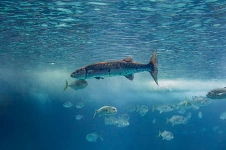 Soft backlit barracuda. Aquarium photo. Archivio Fotografico