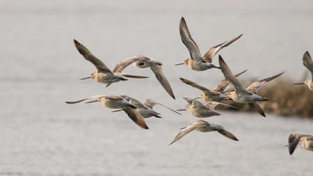Flock of sandpipers in flight, north of Portugal
