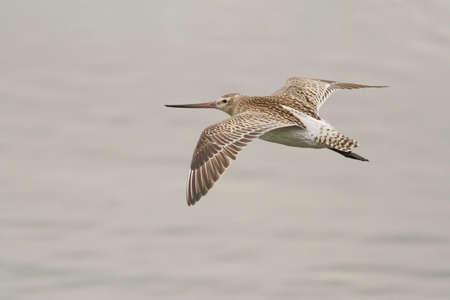 Sandpiper in flight closeup. Northern portuguese coast.