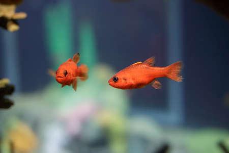 Beautiful tropical sea small red fish. Archivio Fotografico
