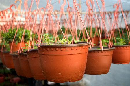 dozens: Dozens of brown plastic flowerpot with flowers that have yet to flourish in rows in a sunny greenhouse in a village near Novi Sad, Serbia