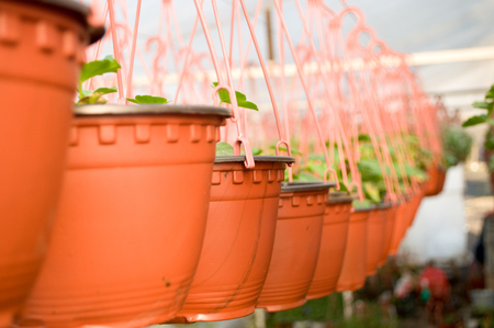 Dozens of brown plastic flowerpot with flowers that have yet to flourish in rows in a sunny greenhouse in a village near Novi Sad, Serbia