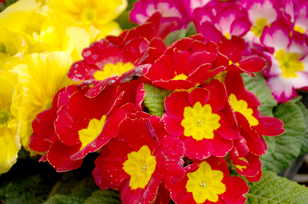 Double primrose colored paint, Latin name Primula vulgaris in the greenhouse in Serbia