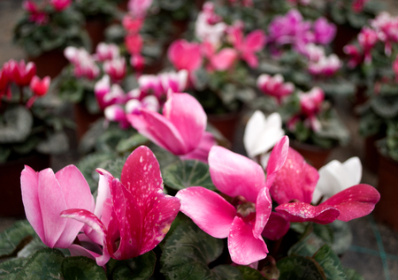 Pink cyclamen, Latin name sicilium in the greenhouse in Serbia Stock Photo