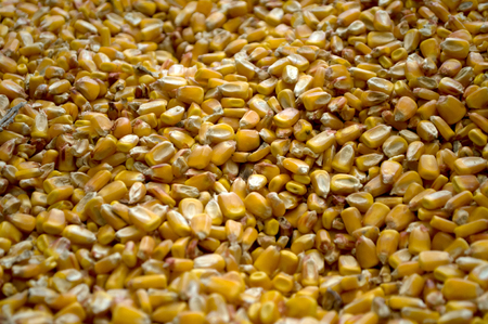 Large amounts of yellow maize widespread