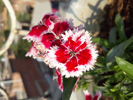 A blossoming Flower captured perfectly. A red and white beauty.