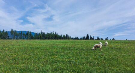 mountain sheep grazing in the meadow