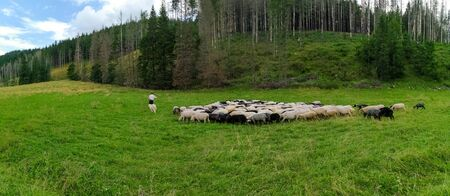 Mountain sheep grazing in a meadow by a highlander. Sheep in pasture. Sheep on grass.