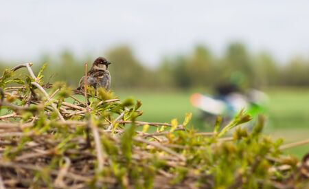 sparrow sitting in a large nest. Motorbike in the background