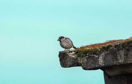 Sparrow eating worm on the roof. Sitting calmly enjoying her meal. Blue background.