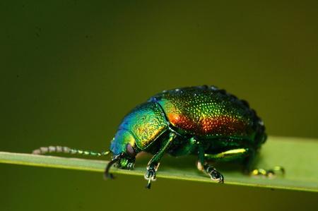 Green beatle