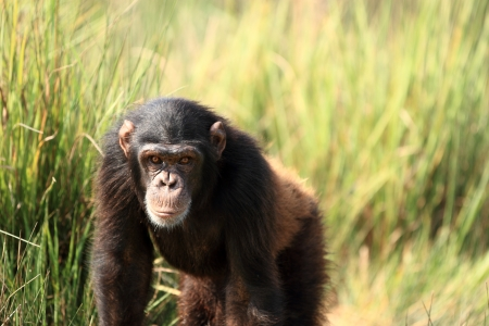 chimpanzee Stock Photo - 14950104