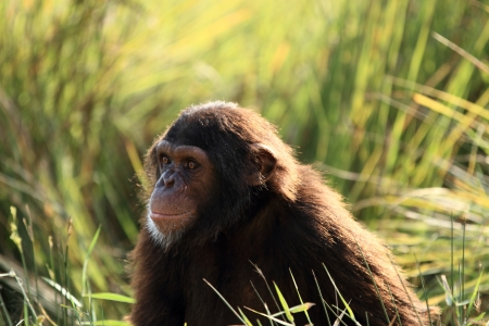 chimpanzee Stock Photo - 14950121